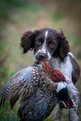 Bonnie's First Pheasant