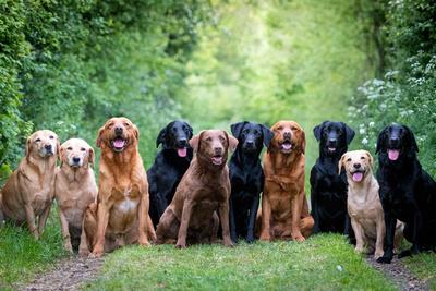 The Labrador Crew